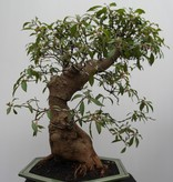 Bonsai Hamelia, nr. 7832