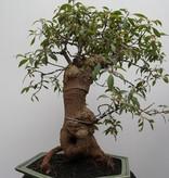 Bonsai Hamelia, no. 7832