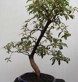 Bonsai Hamelia, no. 7834
