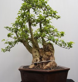Bonsai Duranta, nr. 7835