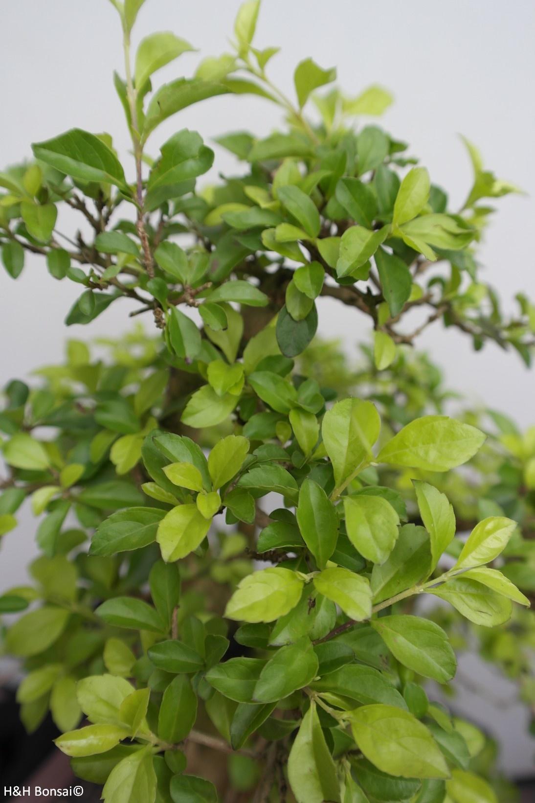 Bonsai Taubenbeere, Duranta, nr. 7835