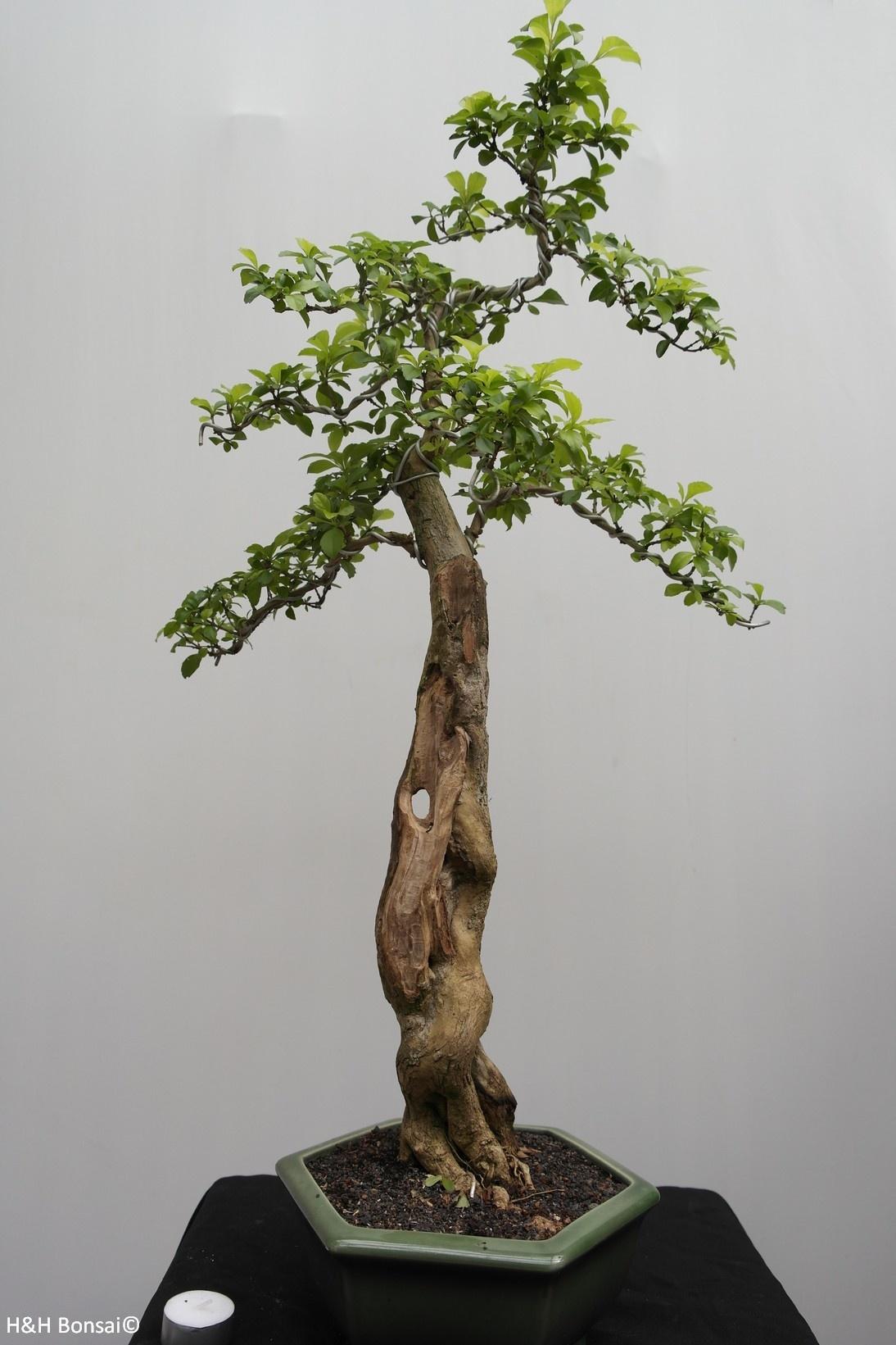 Bonsai Taubenbeere, Duranta, nr. 7836