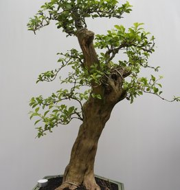 Bonsai Duranta, nr. 7837