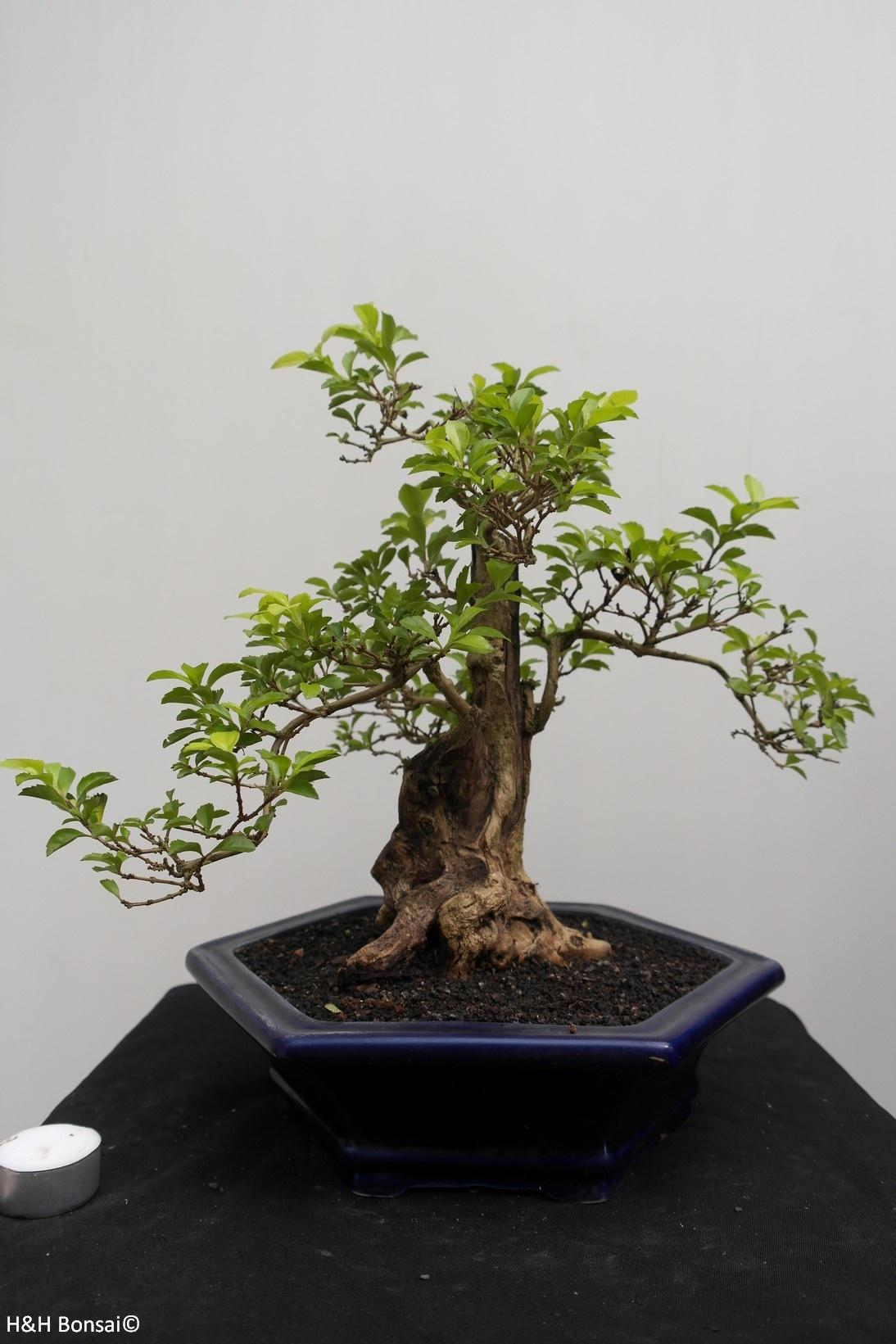Bonsai Taubenbeere, Duranta, nr. 7838