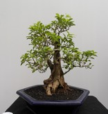 Bonsai Duranta, nr. 7838