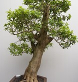 Bonsai Duranta, nr. 7840