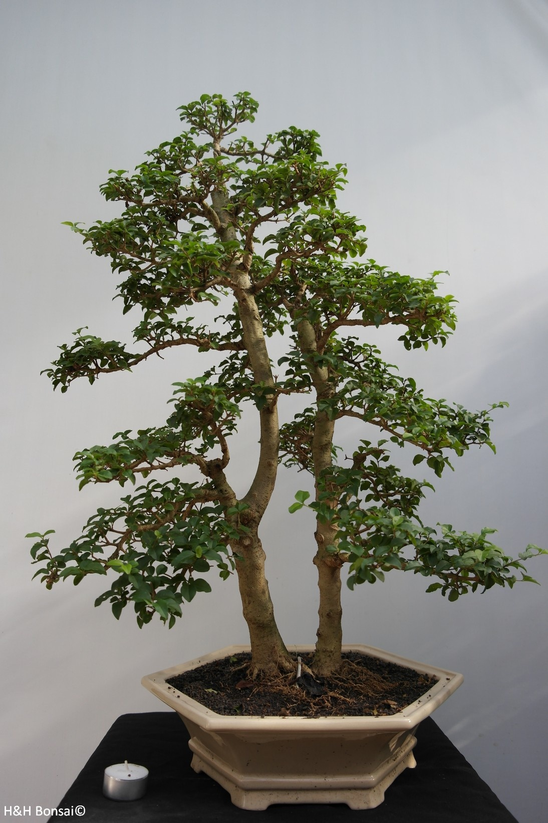Bonsai Ligustrum sinense, nr. 7842
