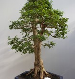 Bonsai Ligustrum sinense, nr. 7846