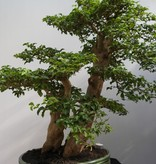 Bonsai Privet, Ligustrum sinense, no. 7847