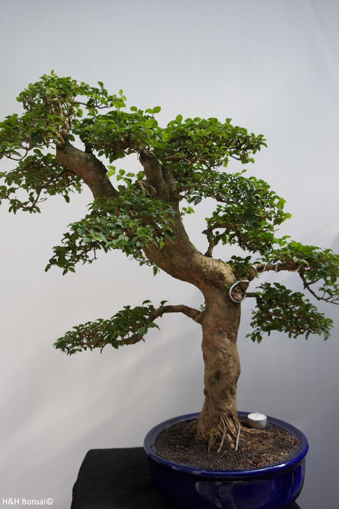 Bonsai Ligustrum sinense, nr. 7848