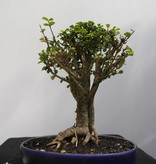 Bonsai Barbados Cherry, Malpighia coccigera, no. 7851