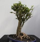 Bonsai Malpighia coccigera, nr. 7851