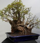 Bonsai Hamelia, nr. 7853