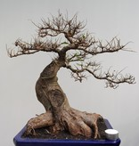 Bonsai Zelkova, no. 7856