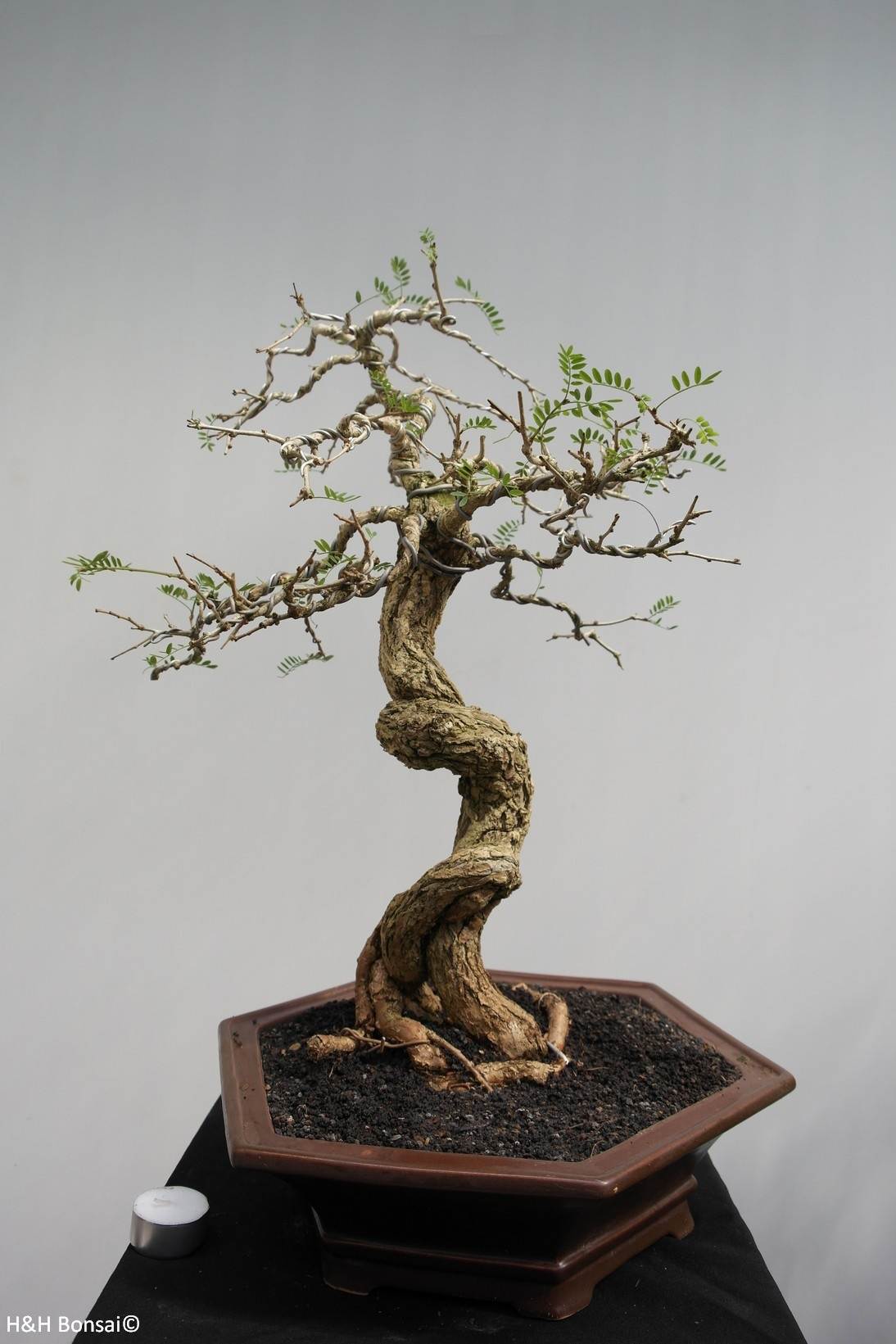 Bonsai Tamarinde, nr. 7857