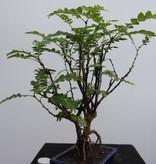 Bonsai Phyllanthus buxifolius, no. 7859