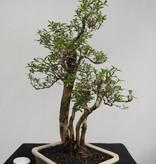 Bonsai Junischnee, Serissa foetida, nr. 7861