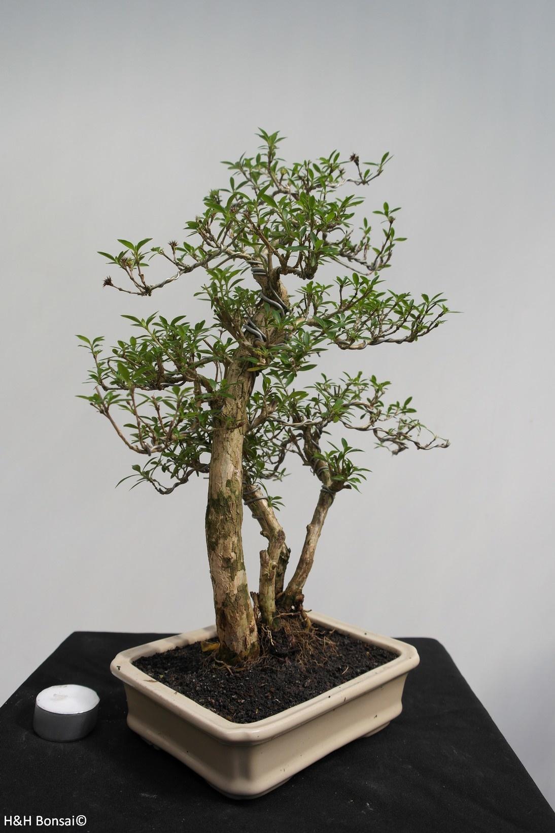 Bonsai Serissa foetida, nr. 7861