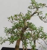 Bonsai Snow Rose, Serissa foetida, no. 7861