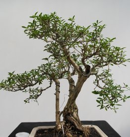 Bonsai Junischnee, Serissa foetida, nr. 7862