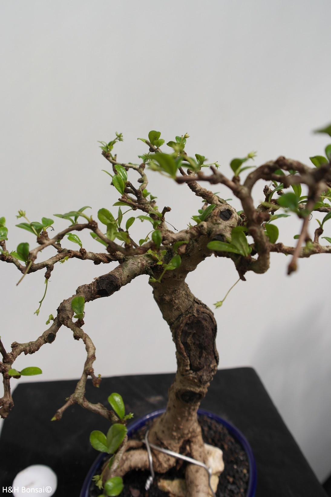 Bonsai Fukien Tea, Carmona macrophylla, no. 7864