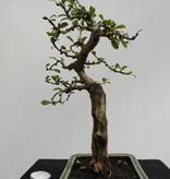 Bonsai Carmona macrophylla, nr. 7865