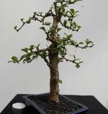 Bonsai Fukien Tea,Carmona macrophylla, no. 7866