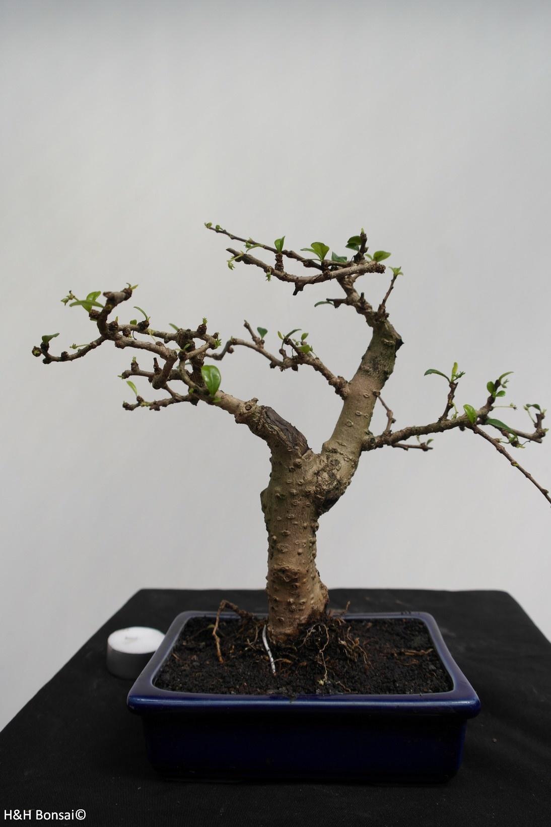 Bonsai Fukien Tea,Carmona macrophylla, no. 7867