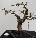 Bonsai Carmona macrophylla, nr. 7867