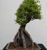 Bonsai Zelkova nire, nr. 7349