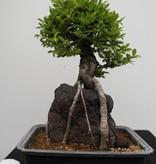 Bonsai Schwarze Zelkove, Zelkova nire, nr. 7350