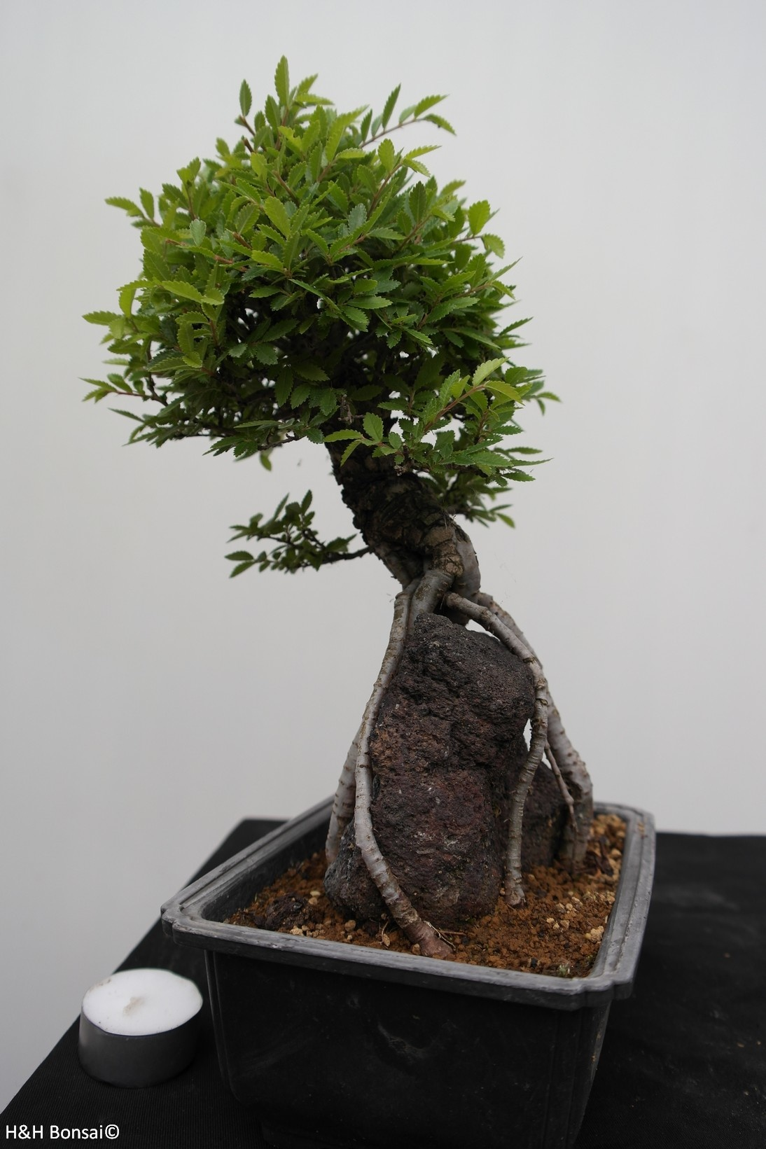 Bonsai Zelkova nire, no. 7350