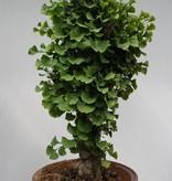 Bonsai Fächerblattbaum,Ginkgo biloba, nr. 7351