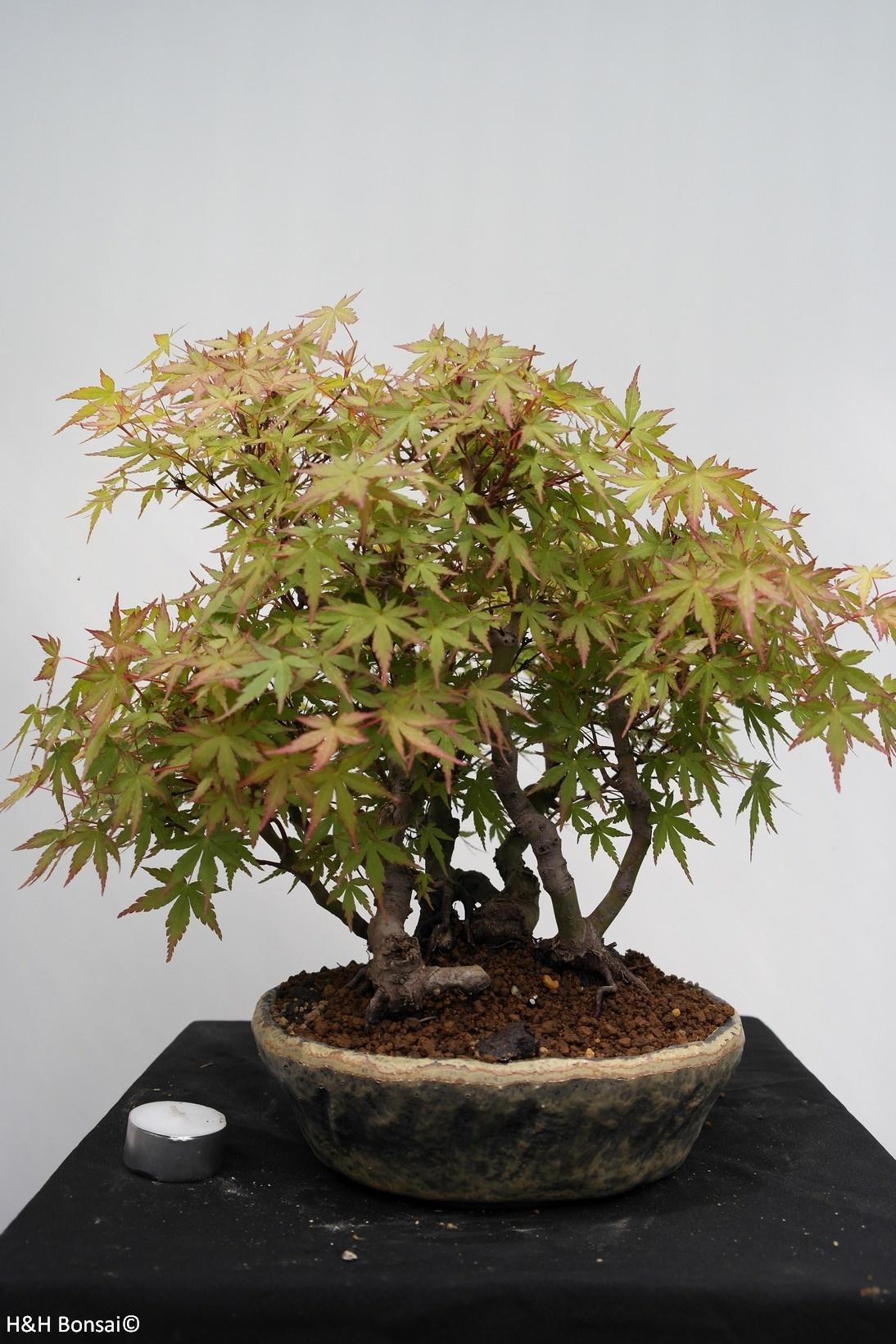 Bonsai Acer palmatum, Japanse esdoorn, nr. 7447