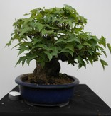 Bonsai Dreispitzahorn, Acer buergerianum, nr. 7513A