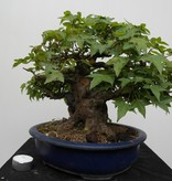 Bonsai Trident Maple, Acer buergerianum, no. 7513A