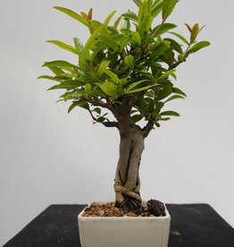 Bonsai Pomegranate, Punica granatum, no. 7524