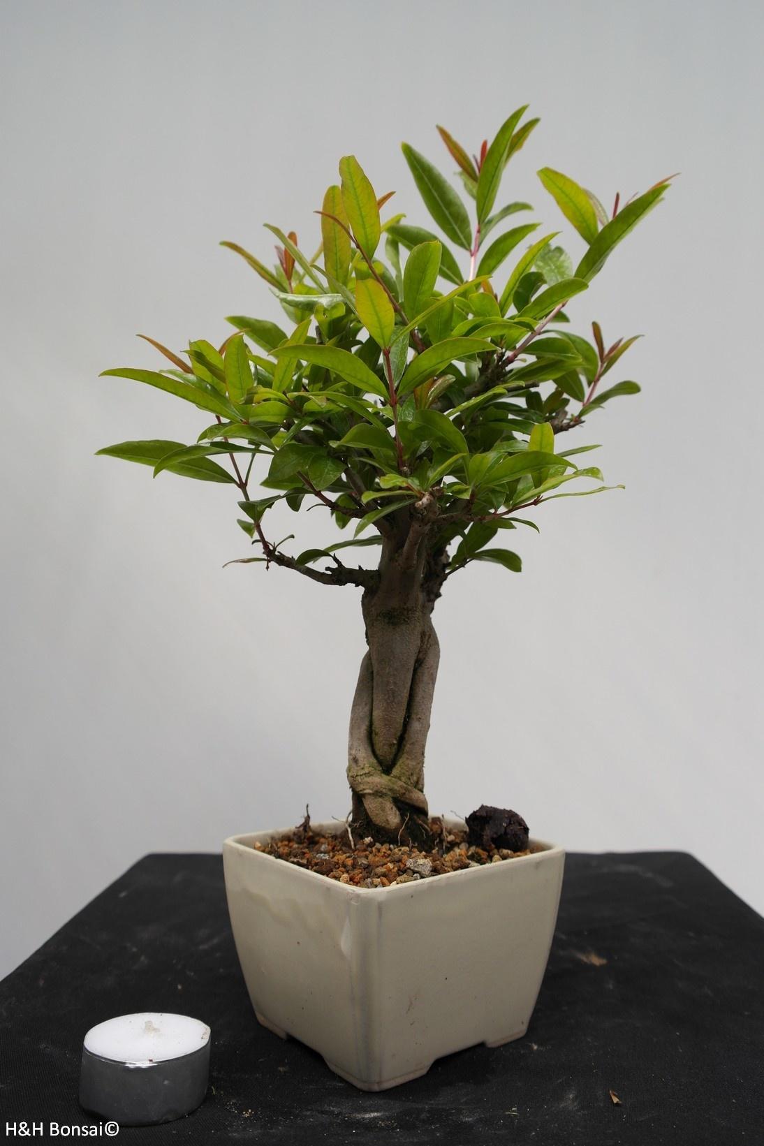 Bonsai Grenadier, Punica granatum, no. 7524