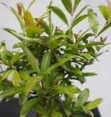 Bonsai Pomegranate, Punica granatum, no. 7524