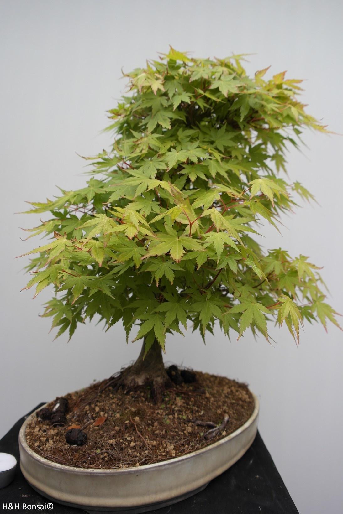 Bonsai Acer palmatum, Japanse esdoorn, nr. 7764