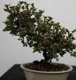 Bonsai Shohin Cotoneaster, no. 7771