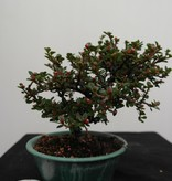 Bonsai Shohin Cotoneaster, no. 7773