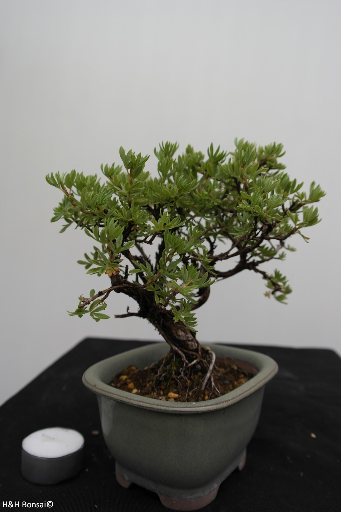 Bonsai Shohin Potentilla fruticosa, no. 7775