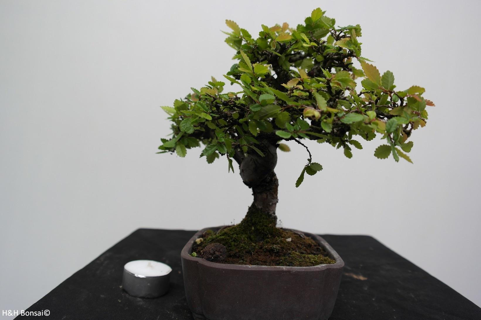 Bonsai Shohin Zelkova, nr. 7778