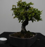Bonsai Shohin Zelkova, no. 7778