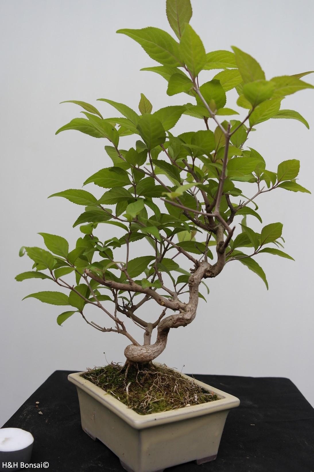Bonsai Liebesperlenstrauch, Callicarpa japonica, nr. 7783