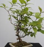 Bonsai Japanese Beautyberry Callicarpa japonica, no. 7783