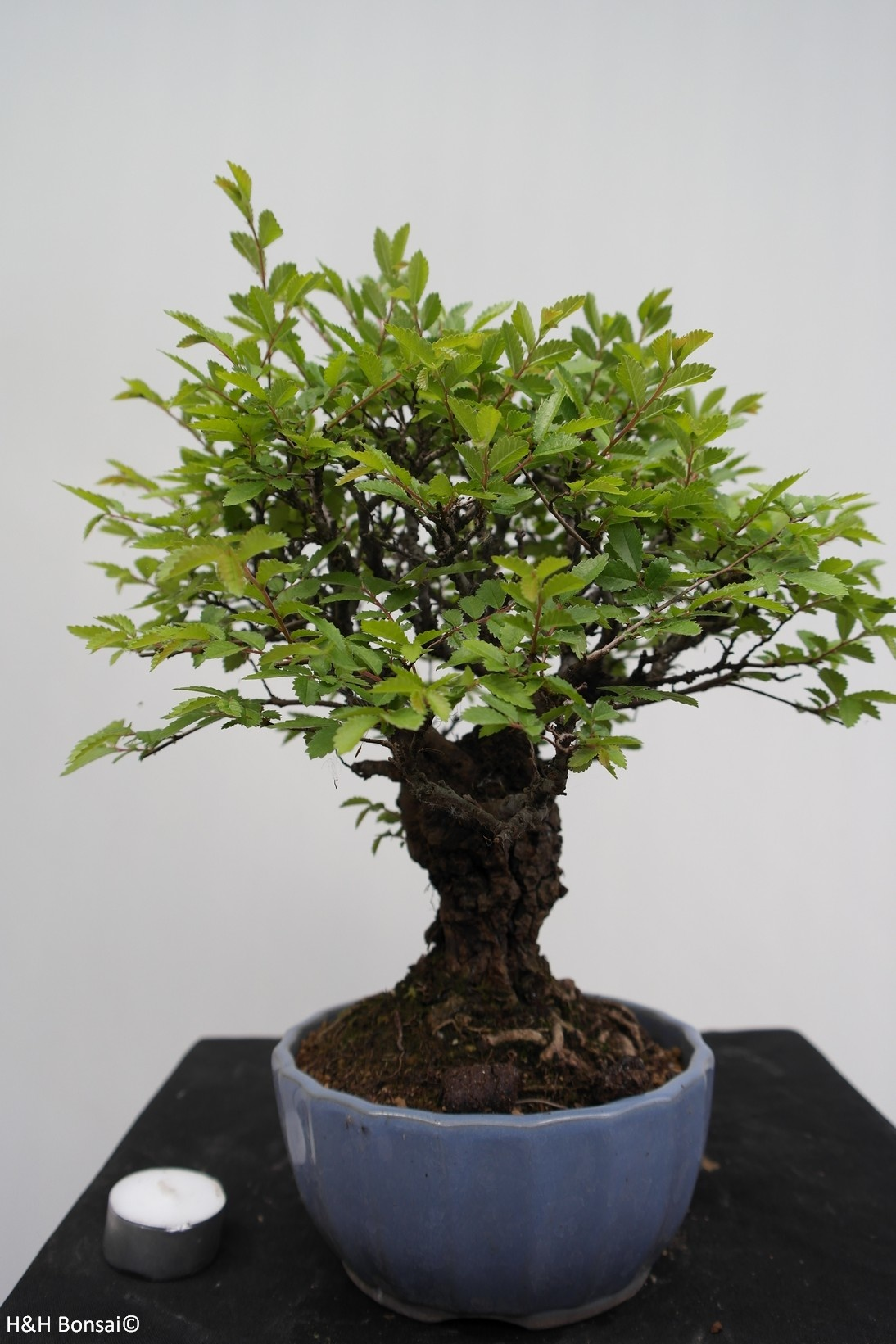 Bonsai Schwarze Zelkove, Zelkova nire, nr. 7791