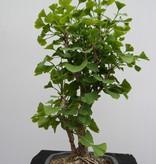 Bonsai Ginkgo biloba, no. 7795