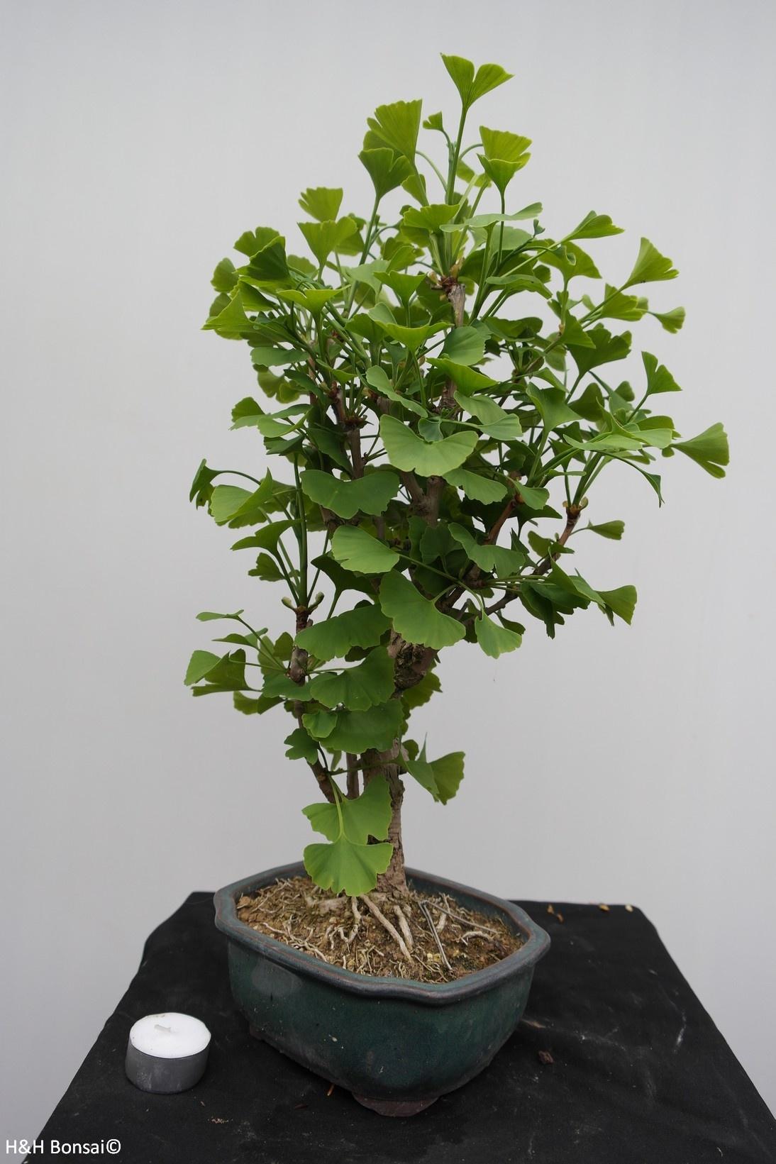 Bonsai Ginkgo biloba, Japanse notenboom, nr. 7795
